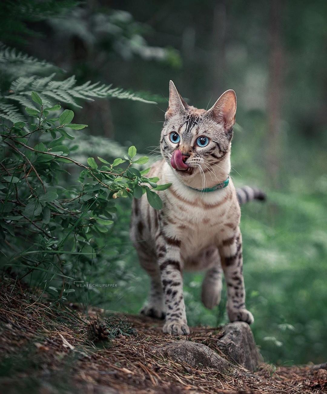 eb78c610 Blue-eyed cat ...